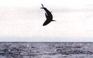 Mako Shark Jump